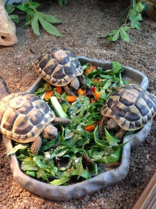 Рацион черепахи должен быть разнообразным и питательным.
