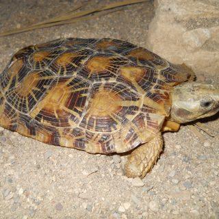 эластичная черепаха