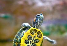 травмы и ожоги у красноухих черепах
