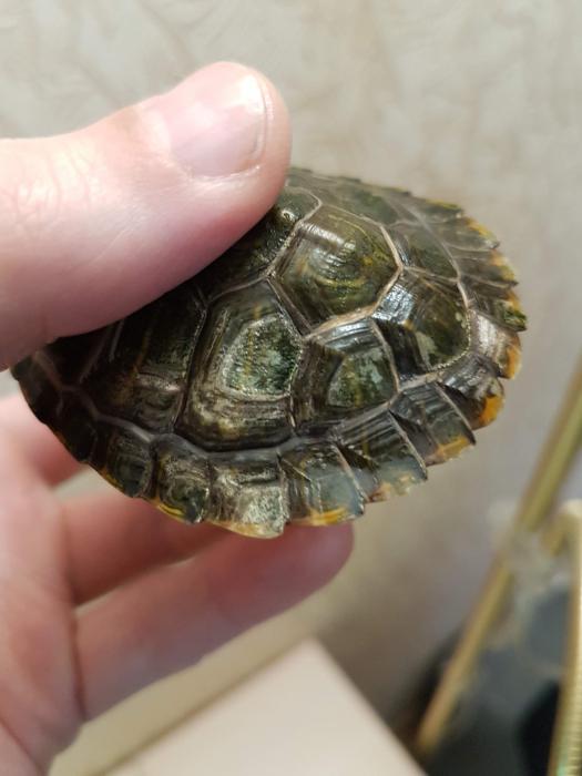 У черепахи мягкий панцирь