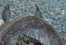 Пневмония у красноухих черепах