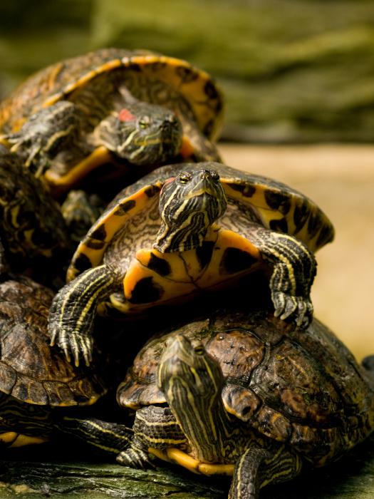 Симптомы тимпании у черепахи