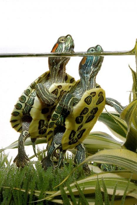 отит у красноухой черепахи