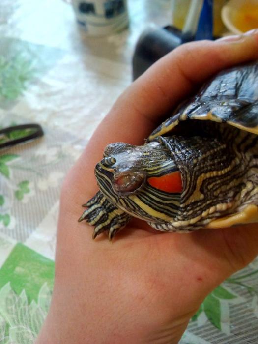 болезни глаз у красноухих черепах